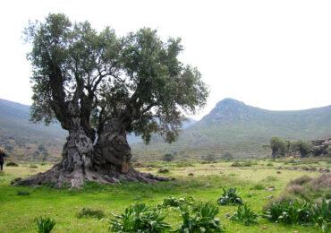 Κάλεσμα για την προστασία και την ανάδειξη των αιωνόβιων ελαιόδεντρων από την  Περιφέρεια Νοτίου Αιγαίου