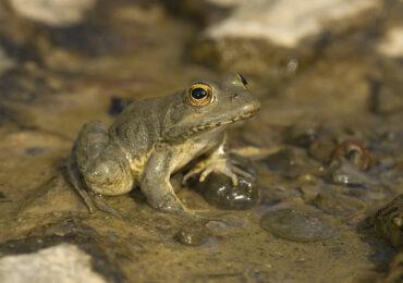 Έρευνα για τον Βάτραχο της Καρπάθου ενέκρινε το Υπ. Περιβάλλοντος και Ενέργειας