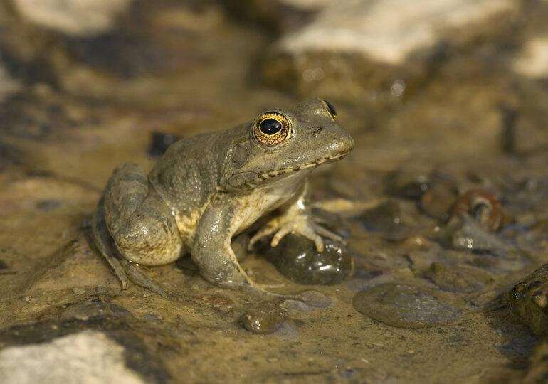 Εγκρίθηκε το Εθνικό Σχέδιο Δράσης (ΕΣΔ) για τον ενδημικό Βάτραχο της Καρπάθου